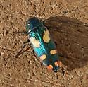 What is this bug? - Buprestis gibbsii