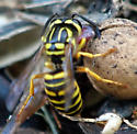 Need an id.  Paper wasp or yellow jacket? view 3 - Vespula squamosa