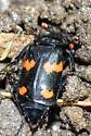Coleoptera - Nicrophorus orbicollis