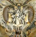 Apidae sp.? - Ancylandrena