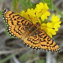 A Beautiful Orange Fritillary - Poladryas minuta - female