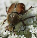 Please identify Beetle - Trichiotinus piger