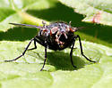 Not Tachinid Fly? - Calliphora vicina