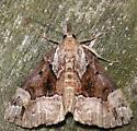 mottled bomolocha - Hypena palparia - female