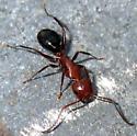 Aanntt - Camponotus decipiens