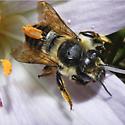 Megachilidae? - Megachile perihirta - female
