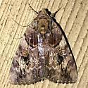 Catocala - Catocala muliercula