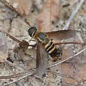 large bee fly - Exoprosopa fasciata