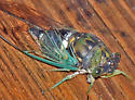 Cicada - Tibicen tibicen