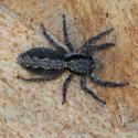 Jumping spider ? - Platycryptus californicus - female