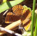Little Metalmark? - Calephelis virginiensis