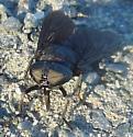 Black Horse Fly - Tabanus atratus - female