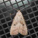 Broken-line Hypenodes Moth - Hypenodes fractilinea