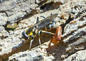 Hover fly? - Chalcosyrphus