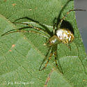 Spider 006 - Mangora spiculata