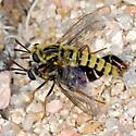 Tranmontane CA mydid record - Pseudonomoneura hirta - female