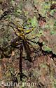 ?Male Ichneumon wasp - Megarhyssa atrata - male