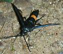 Moth 19 - Synanthedon exitiosa