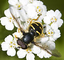 Syrphid fly3 - Sericomyia chrysotoxoides