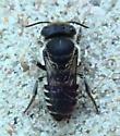 Halictidae: Halictus? - Megachile rotundata - female
