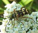 Longhorn Beetle ID - Typocerus octonotatus