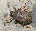 spike shouldered stink bug - Picromerus bidens