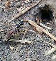 Sand wasp? - Philanthus gibbosus - female