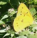 Butterfly 5 - Colias eurytheme - male