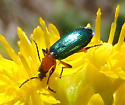 Green Beetle - Calleida punctata