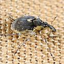 Weevil - Phytobius leucogaster