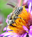 silvery leafcutter bee - Megachile brevis - female