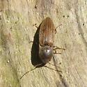 Elateridae 5.31.09 03 - Agriotes lineatus