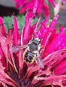 Unknown bee? - Anthidium manicatum - male