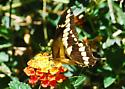 Giant Swallowtail for California in April - Papilio rumiko