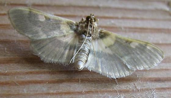 South Texas moth - Apilocrocis brumalis