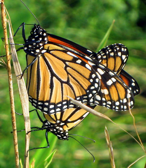 Monarch (mating pair) - Danaus plexippus - male - female