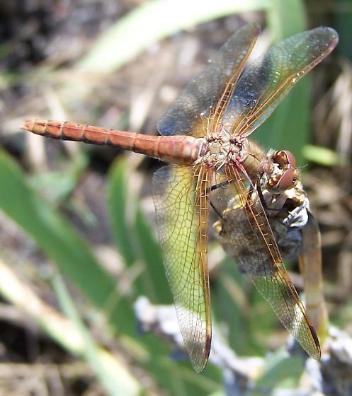 Red-Veined Meadowhawk Dragonfly - Sympetrum madidum
