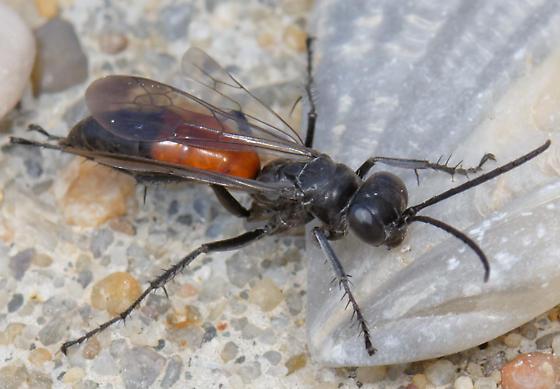 pompilid wasp - Anoplius semirufus
