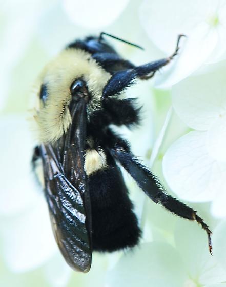 Bombus griseocollis - Brown-belted Bumble Bee - Bombus griseocollis