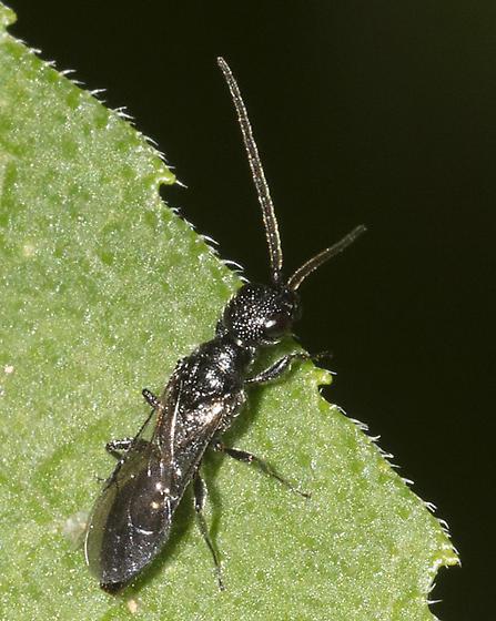 Afton wasp - Pristocera
