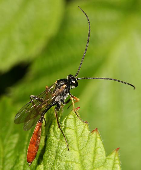 Ichneumon Wasp - Dusona