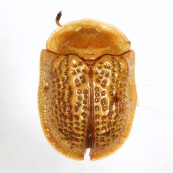 Parorectis sublaevis (Barber) - Parorectis sublaevis