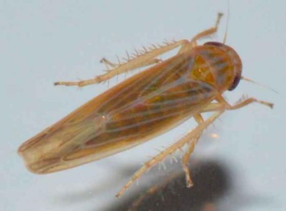 Leafhopper - Balclutha