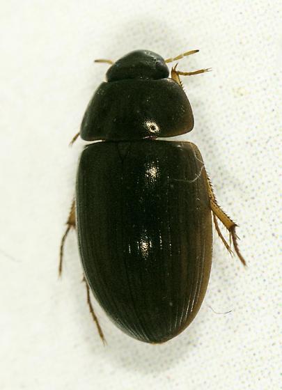 Hydrophilidae - Hydrobius fuscipes