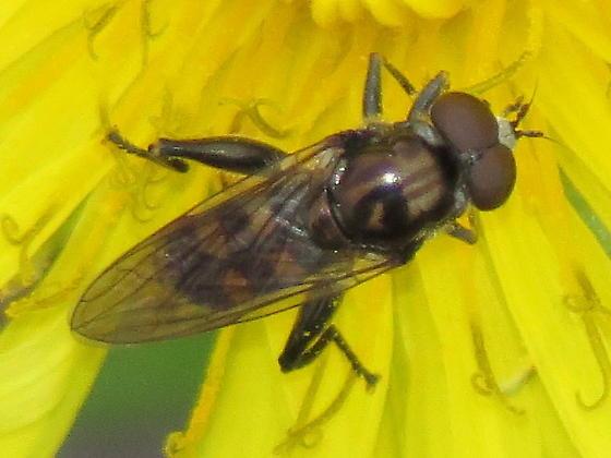 Tropidia? - Chalcosyrphus nemorum