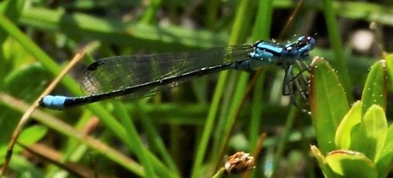 turquoise bluet - Enallagma divagans - male
