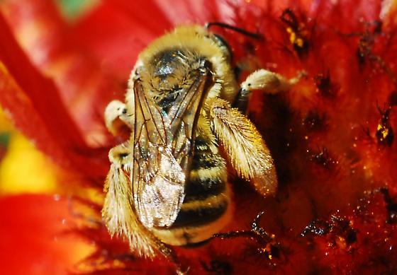 Stocky Bee - Melissodes - female