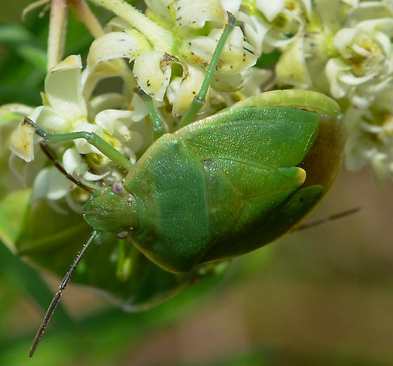 green stink bug Chlorochroa sp.? - Chlorochroa persimilis