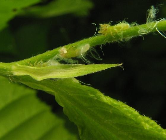 Nymphs - Psylla carpinicola