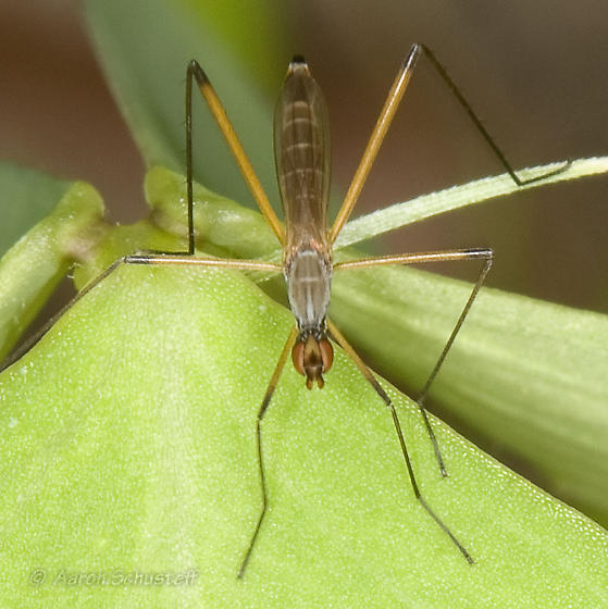 AZ BugGuide Gathering Micropeza - Micropeza bisetosa